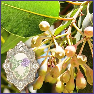 E.O.– Eucalyptus Citriodora