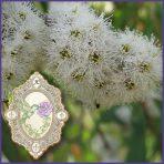 E.O.– Eucalyptus Radiata