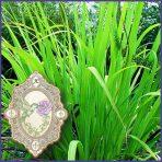 E.O.– Gingergrass