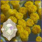 E.O.– Helichrysum