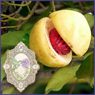 E.O.– Nutmeg