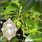 E.O.– Ravensara antisata